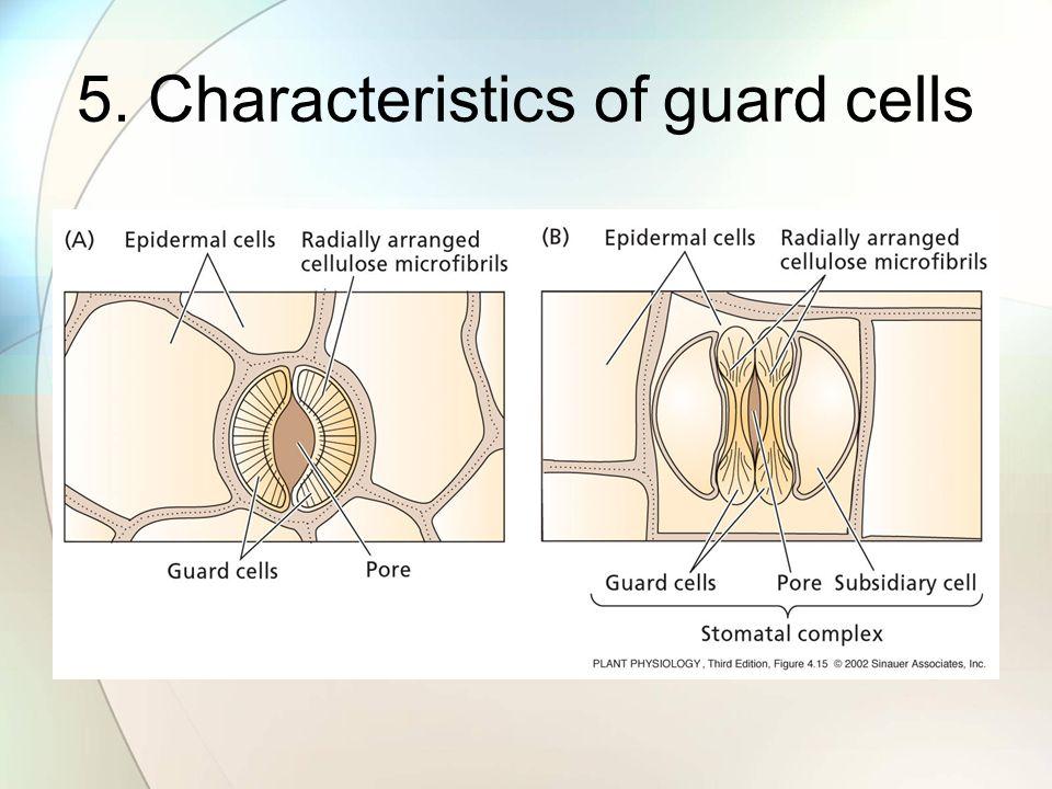 5. Characteristics of guard cells