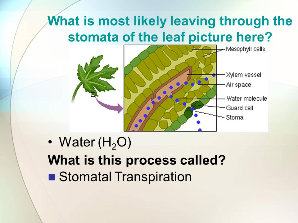 What is most likely leaving through the stomata of the leaf picture here? Water (H 2 O) What is this process called? Stomatal Transpiration