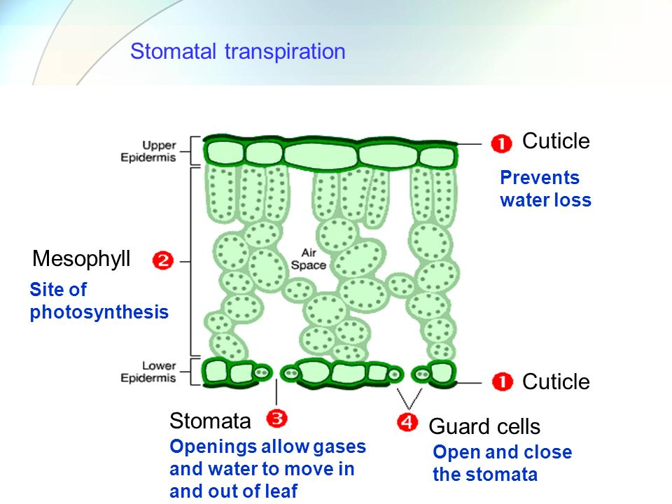 Cuticle Mesophyll Stomata Guard cells Prevents water loss Site of photosynthesis Openings allow gases and water to move in and out of leaf Open and cl