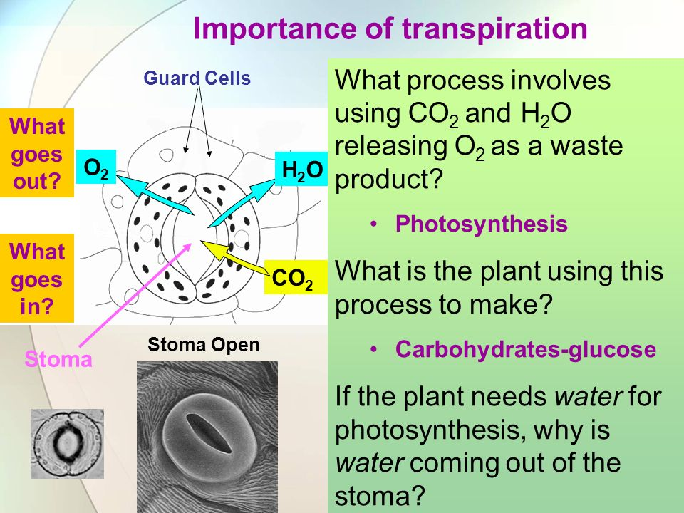 Stoma Open Stoma Closed Guard Cells Stoma Importance of transpiration Guard Cells CO 2 O2O2 H2OH2O What goes in? What goes out? What process involves