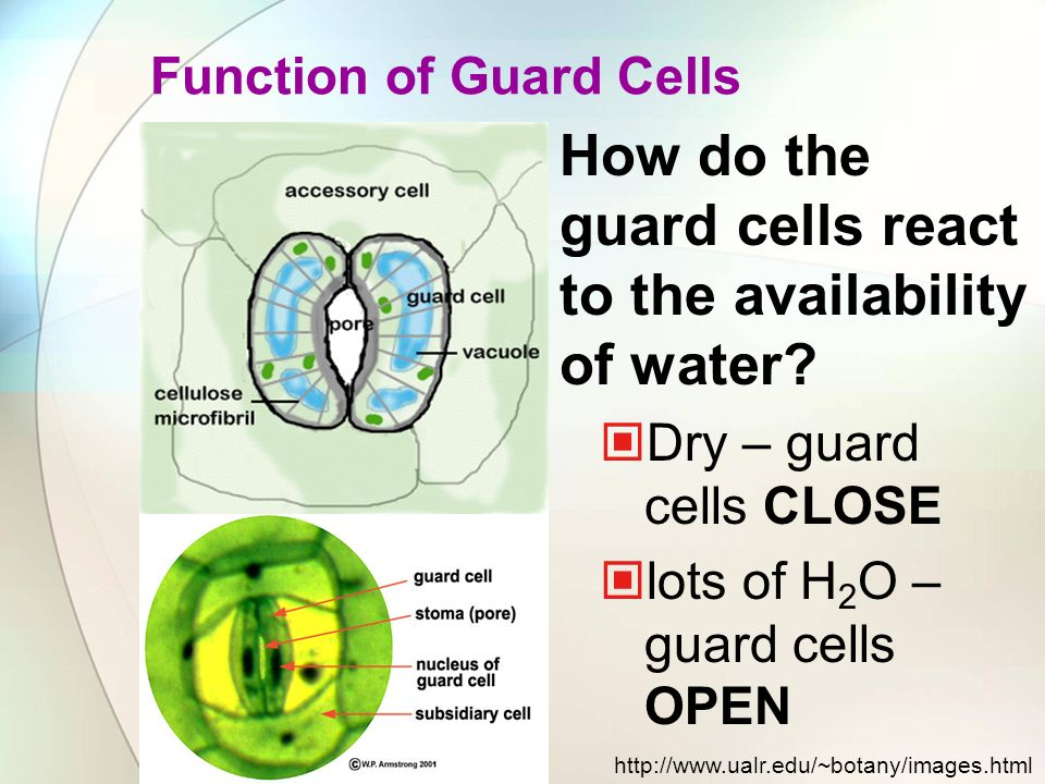 How do the guard cells react to the availability of water? Dry – guard cells CLOSE lots of H 2 O – guard cells OPEN http://www.ualr.edu/~botany/images