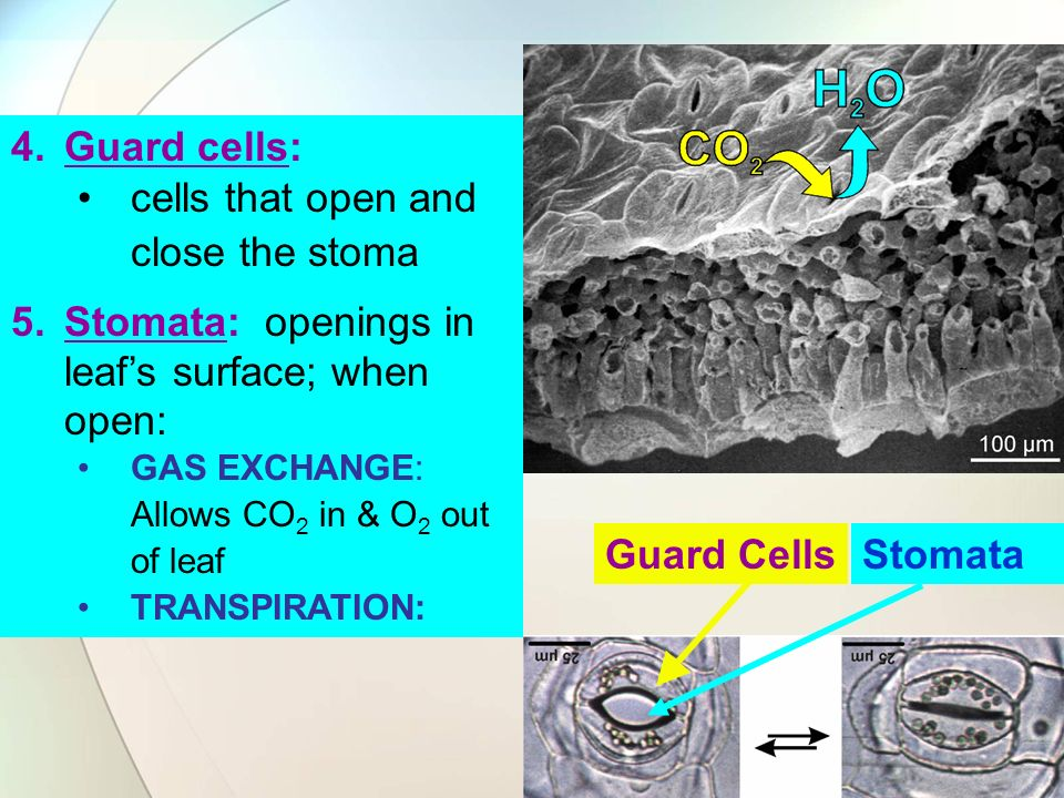 Guard Cells 4.Guard cells: cells that open and close the stoma 5.Stomata: openings in leafs surface; when open: GAS EXCHANGE: Allows CO 2 in & O 2 out