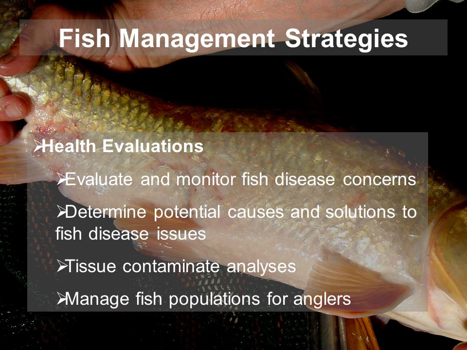 Health Evaluations Evaluate and monitor fish disease concerns Determine potential causes and solutions to fish disease issues Tissue contaminate analyses Manage fish populations for anglers Fish Management Strategies