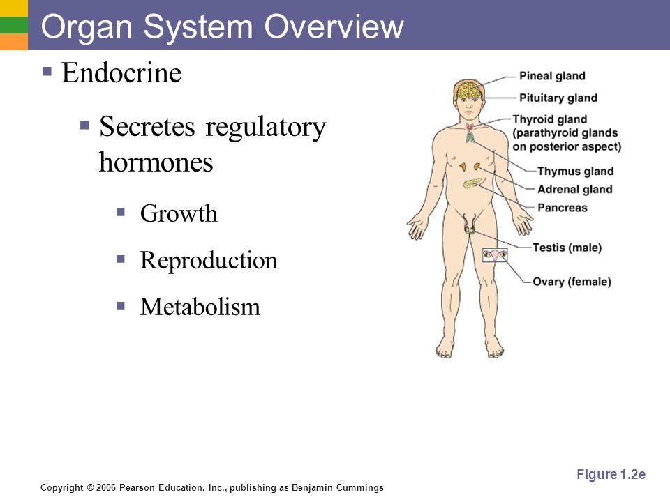 Copyright © 2006 Pearson Education, Inc., publishing as Benjamin Cummings Figure 1.2e Organ System Overview Endocrine Secretes regulatory hormones Gro