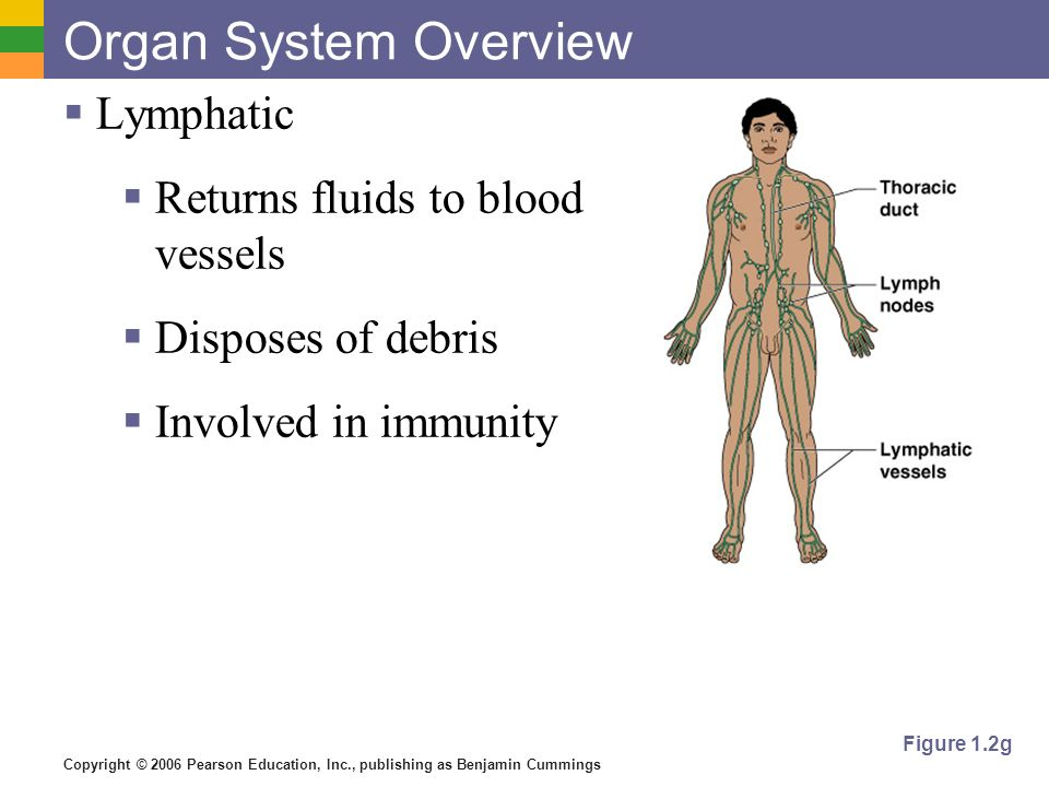 Copyright © 2006 Pearson Education, Inc., publishing as Benjamin Cummings Organ System Overview Lymphatic Returns fluids to blood vessels Disposes of