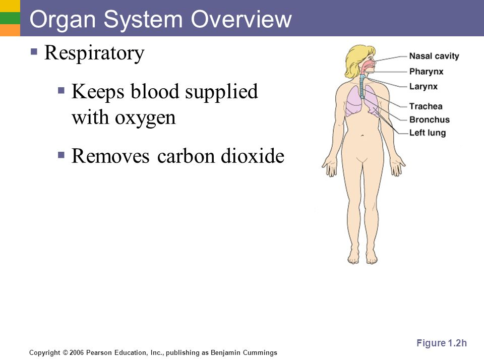 Copyright © 2006 Pearson Education, Inc., publishing as Benjamin Cummings Organ System Overview Respiratory Keeps blood supplied with oxygen Removes c
