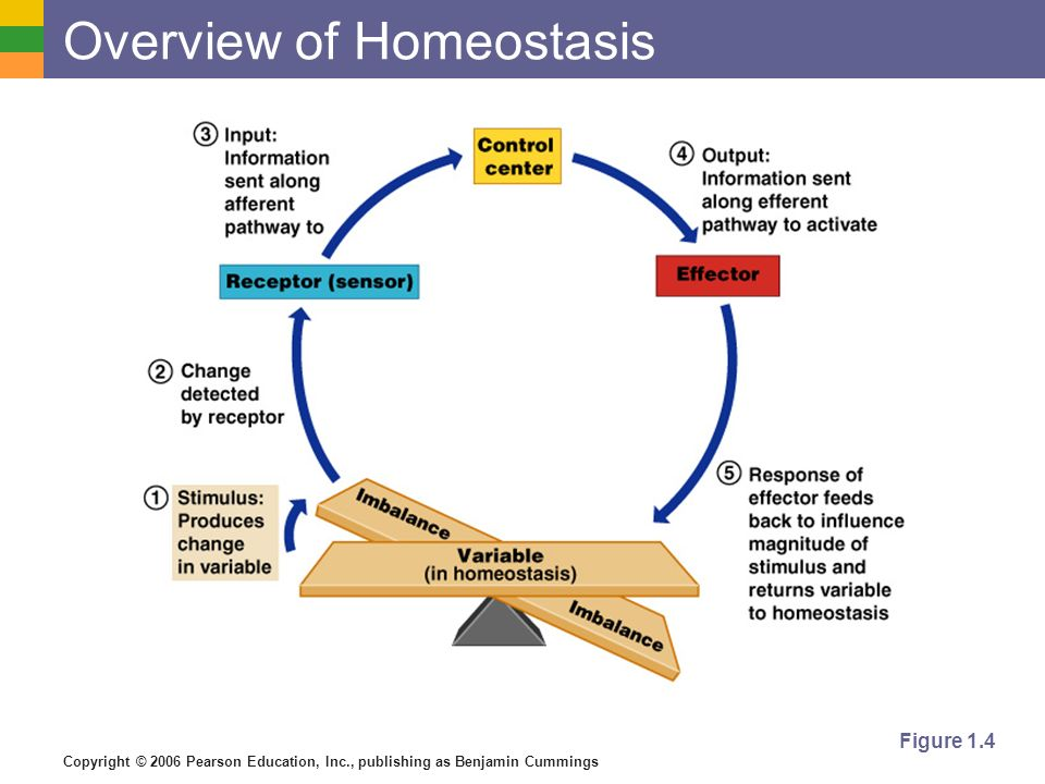 Copyright © 2006 Pearson Education, Inc., publishing as Benjamin Cummings Overview of Homeostasis Figure 1.4