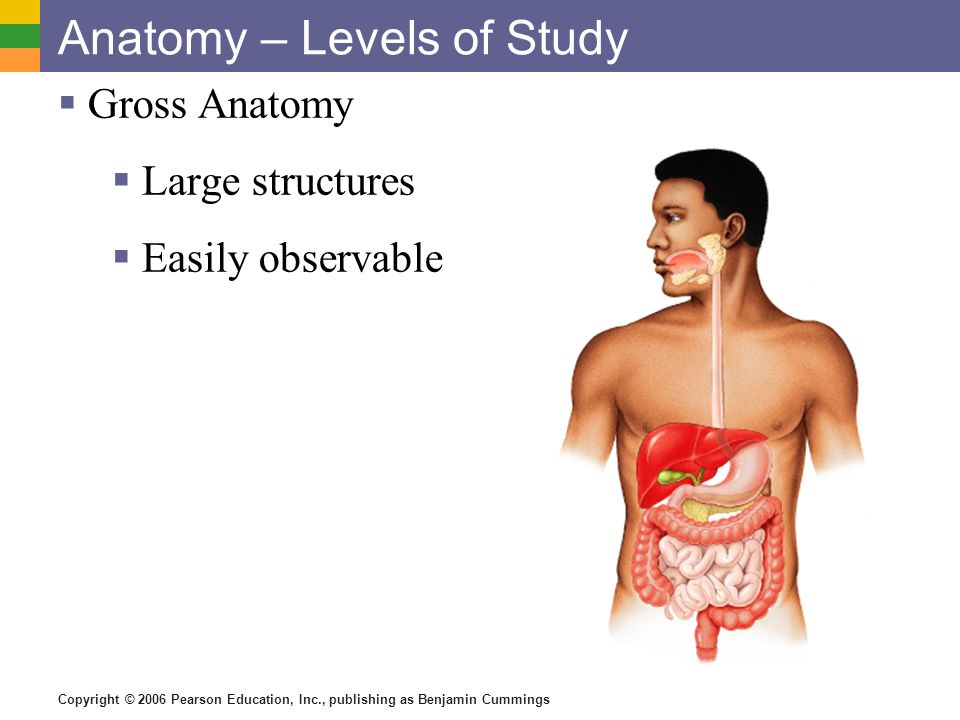 Copyright © 2006 Pearson Education, Inc., publishing as Benjamin Cummings Anatomy – Levels of Study Gross Anatomy Large structures Easily observable