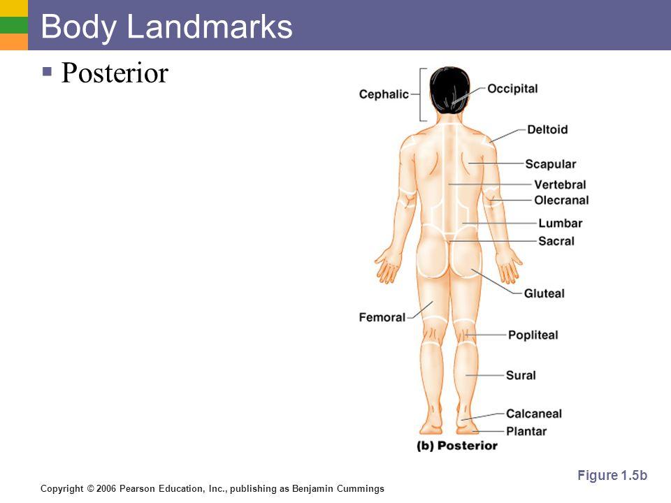 Copyright © 2006 Pearson Education, Inc., publishing as Benjamin Cummings Body Landmarks Posterior Figure 1.5b