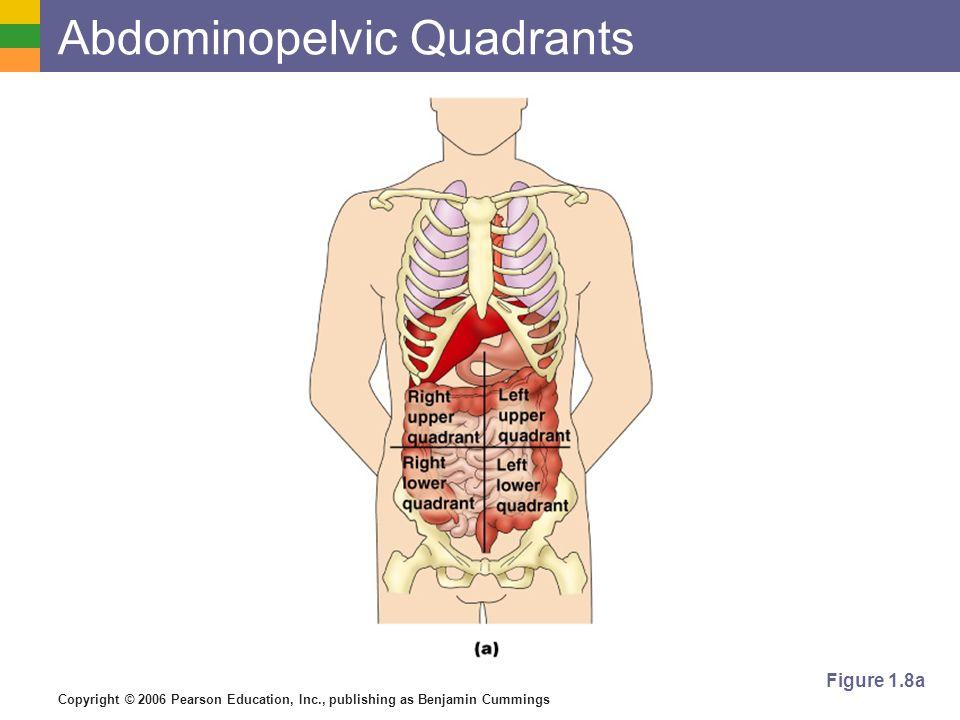 Copyright © 2006 Pearson Education, Inc., publishing as Benjamin Cummings Abdominopelvic Quadrants Figure 1.8a