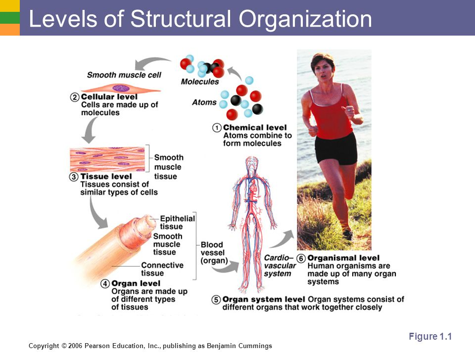 Copyright © 2006 Pearson Education, Inc., publishing as Benjamin Cummings Figure 1.1 Levels of Structural Organization