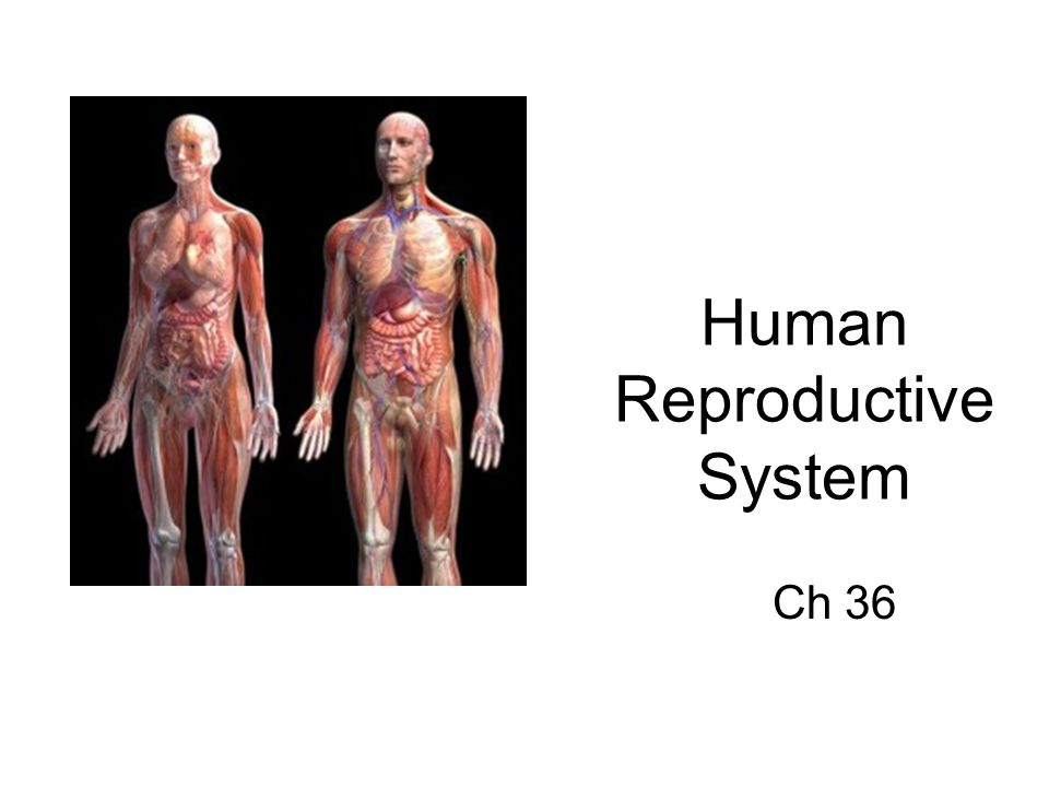 Human Reproductive System Ch 36