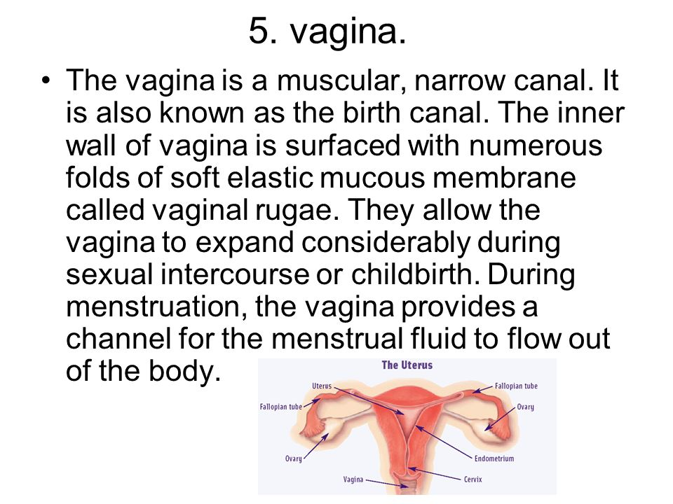 5. vagina. The vagina is a muscular, narrow canal. It is also known as the birth canal. The inner wall of vagina is surfaced with numerous folds of so
