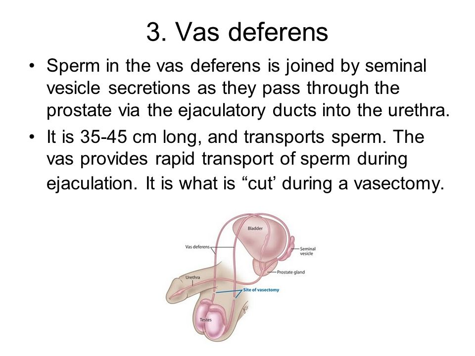 3. Vas deferens Sperm in the vas deferens is joined by seminal vesicle secretions as they pass through the prostate via the ejaculatory ducts into the