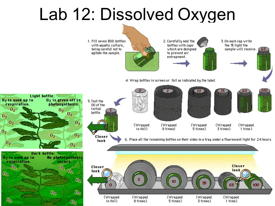 Conclusions – temperature = dissolved O 2 – light = photosynthesis = O 2 production –O 2 loss from respiration – respiration = dissolved O 2 (consumption of O 2 )