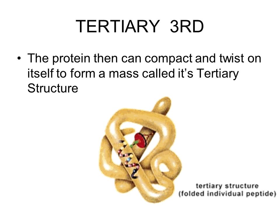 TERTIARY 3RD The protein then can compact and twist on itself to form a mass called its Tertiary Structure