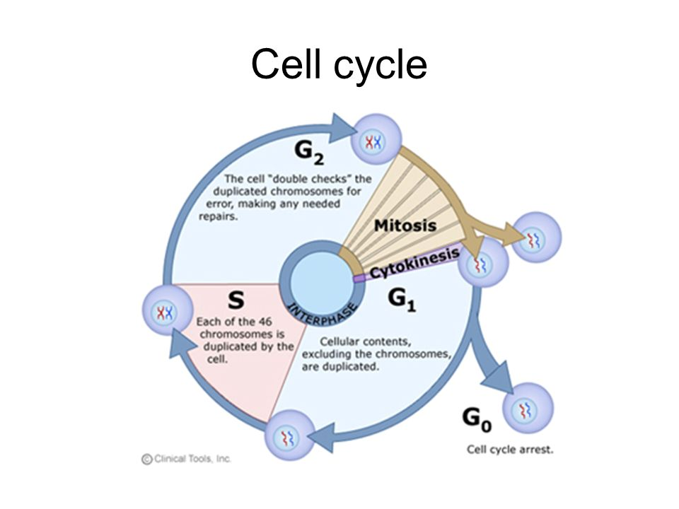 Cell cycle