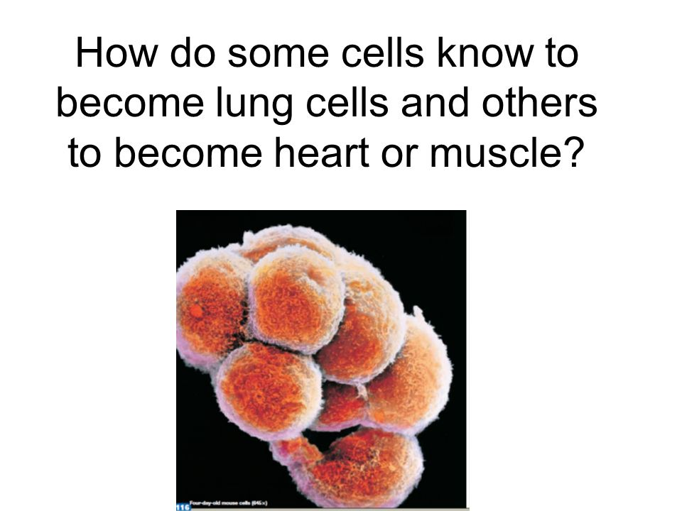 How do some cells know to become lung cells and others to become heart or muscle?