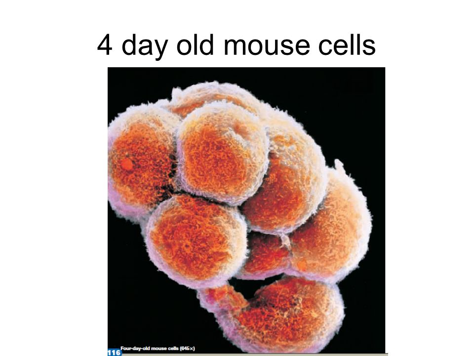 4 day old mouse cells