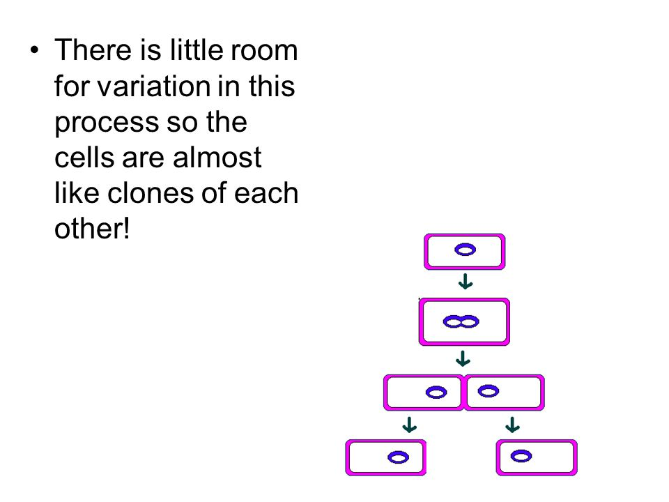 There is little room for variation in this process so the cells are almost like clones of each other!