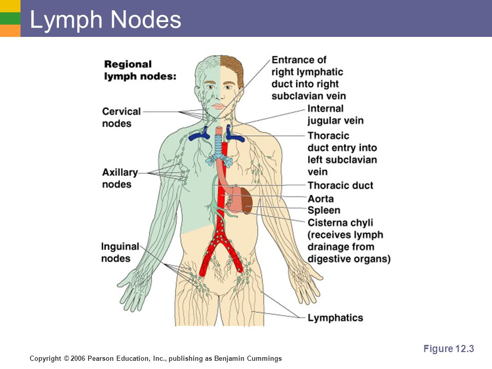 Copyright © 2006 Pearson Education, Inc., publishing as Benjamin Cummings Lymph Nodes Figure 12.3
