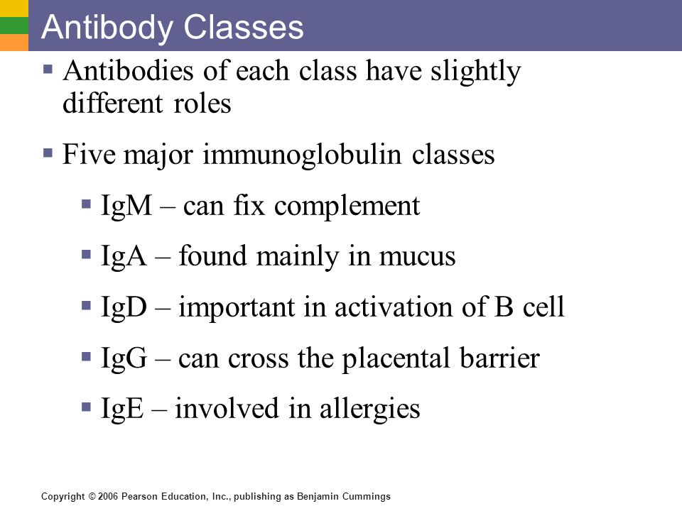 Copyright © 2006 Pearson Education, Inc., publishing as Benjamin Cummings Antibody Classes Antibodies of each class have slightly different roles Five