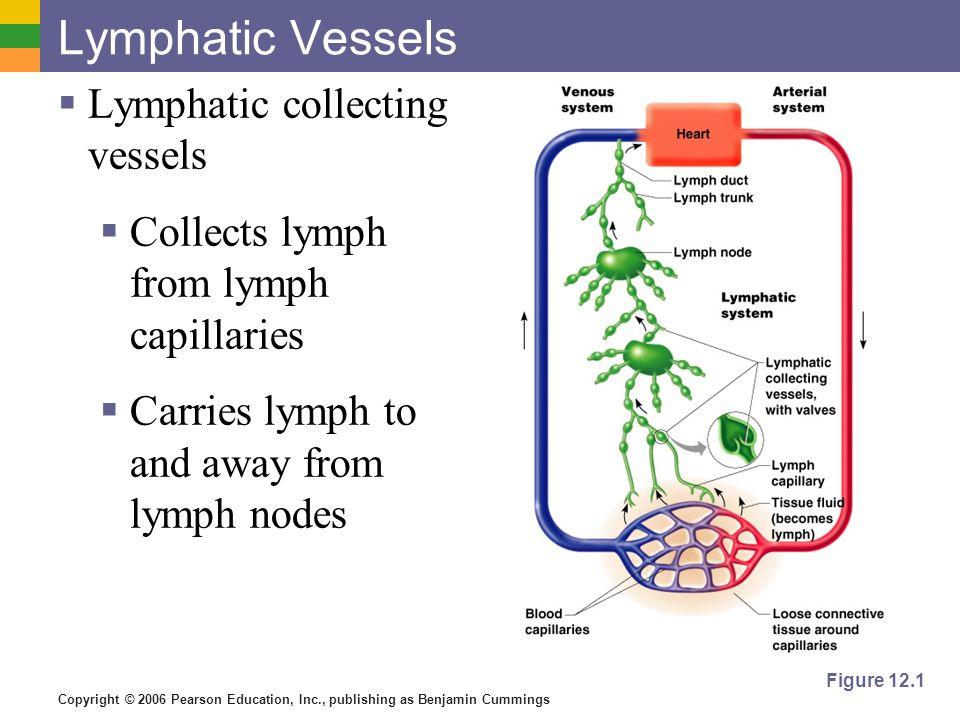 Copyright © 2006 Pearson Education, Inc., publishing as Benjamin Cummings Lymphatic Vessels Lymphatic collecting vessels Collects lymph from lymph cap