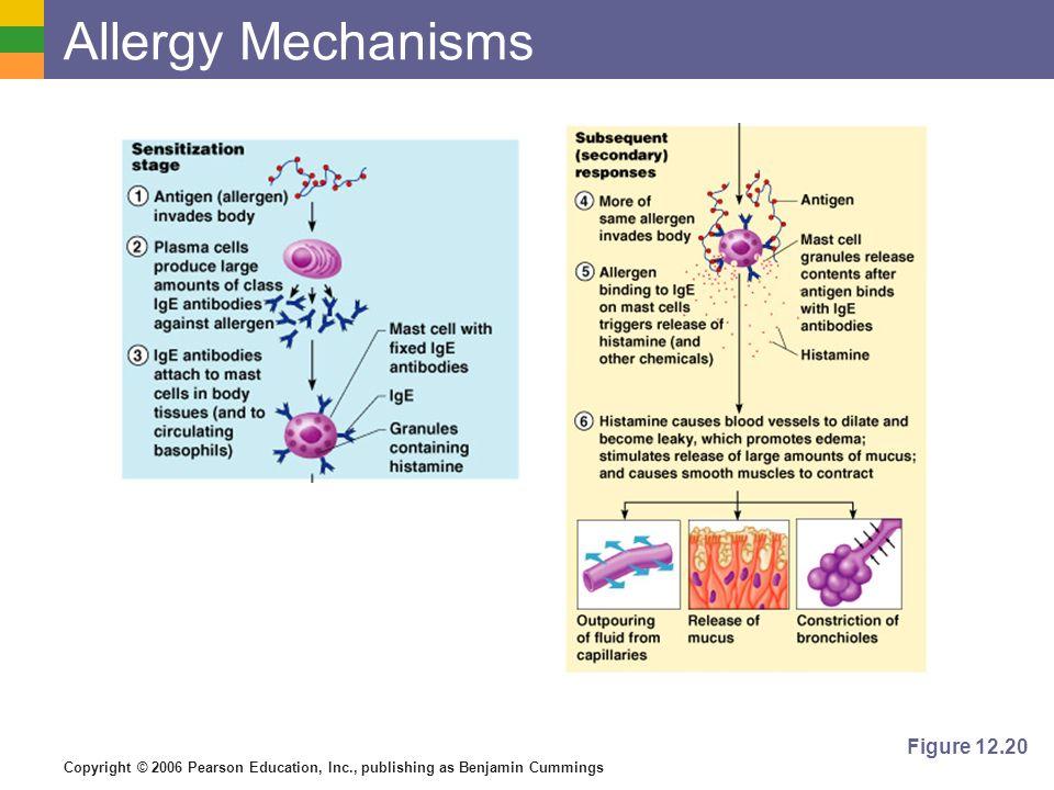 Copyright © 2006 Pearson Education, Inc., publishing as Benjamin Cummings Allergy Mechanisms Figure 12.20