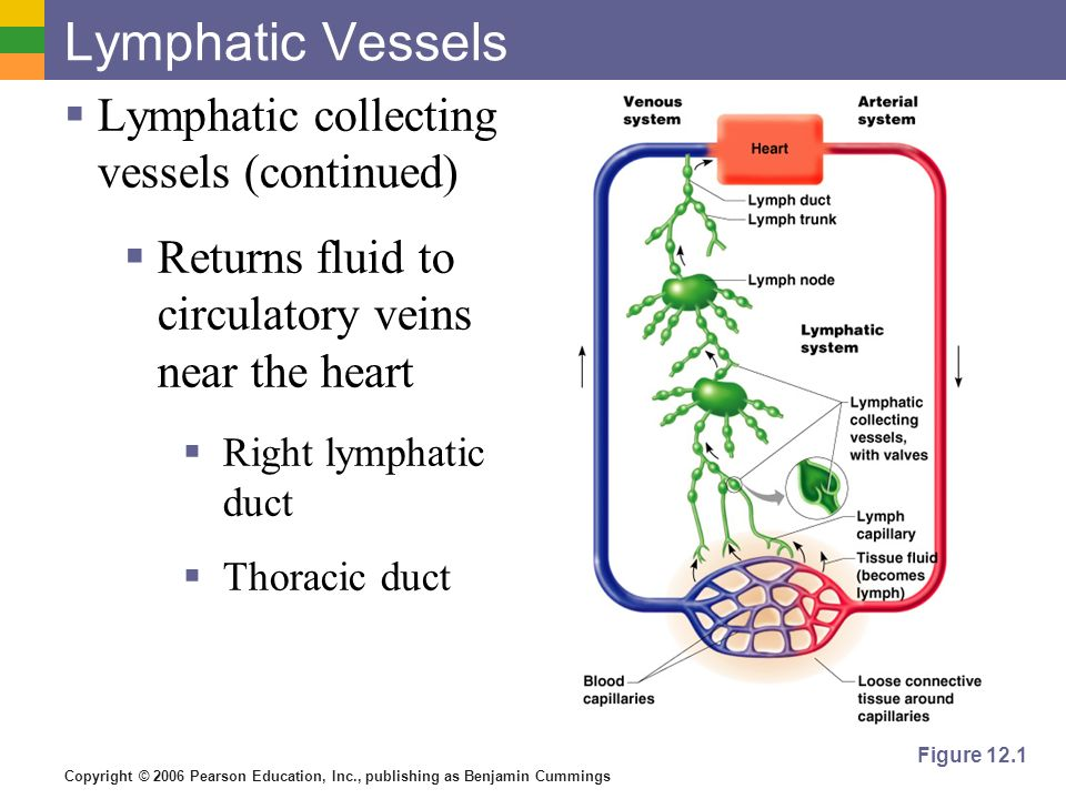 Copyright © 2006 Pearson Education, Inc., publishing as Benjamin Cummings Lymphatic Vessels Lymphatic collecting vessels (continued) Returns fluid to