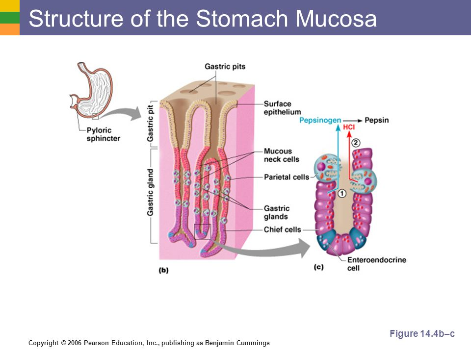 Copyright © 2006 Pearson Education, Inc., publishing as Benjamin Cummings Structure of the Stomach Mucosa Figure 14.4b–c