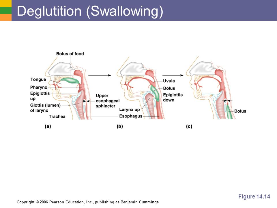 Copyright © 2006 Pearson Education, Inc., publishing as Benjamin Cummings Deglutition (Swallowing) Figure 14.14