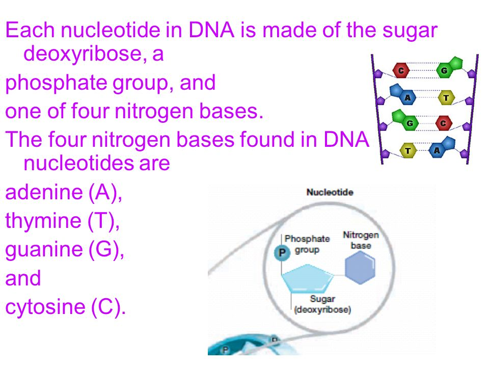 Each nucleotide in DNA is made of the sugar deoxyribose, a phosphate group, and one of four nitrogen bases. The four nitrogen bases found in DNA nucle