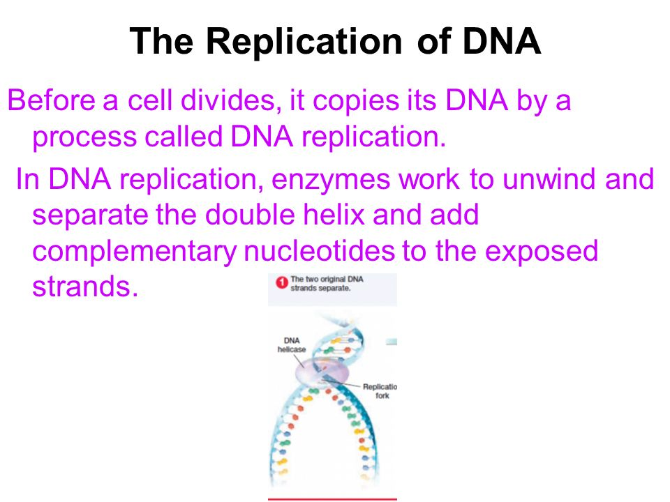 The Replication of DNA Before a cell divides, it copies its DNA by a process called DNA replication. In DNA replication, enzymes work to unwind and se