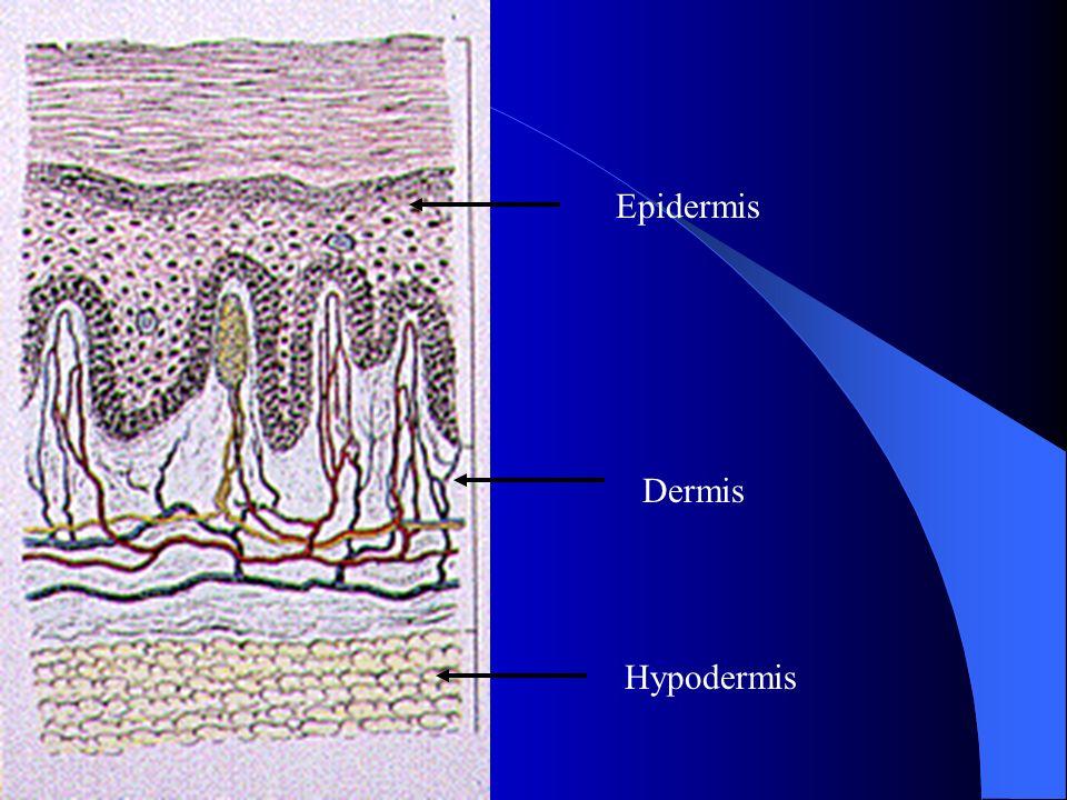 Epidermis Dermis Basement membrane