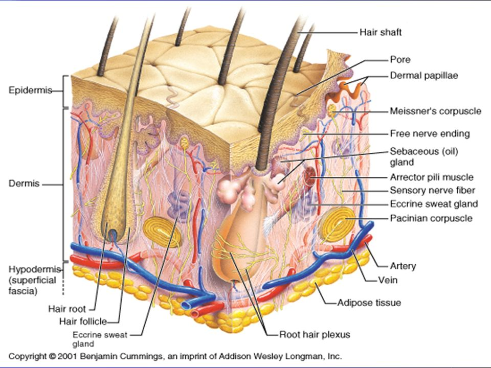 What are the characteristics of the dermis? Made up of connective tissue Richly supplied with blood vessels and lymph vessels Has hair follicles, oil
