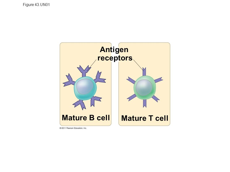 Figure 43.UN01 Antigen receptors Mature B cell Mature T cell