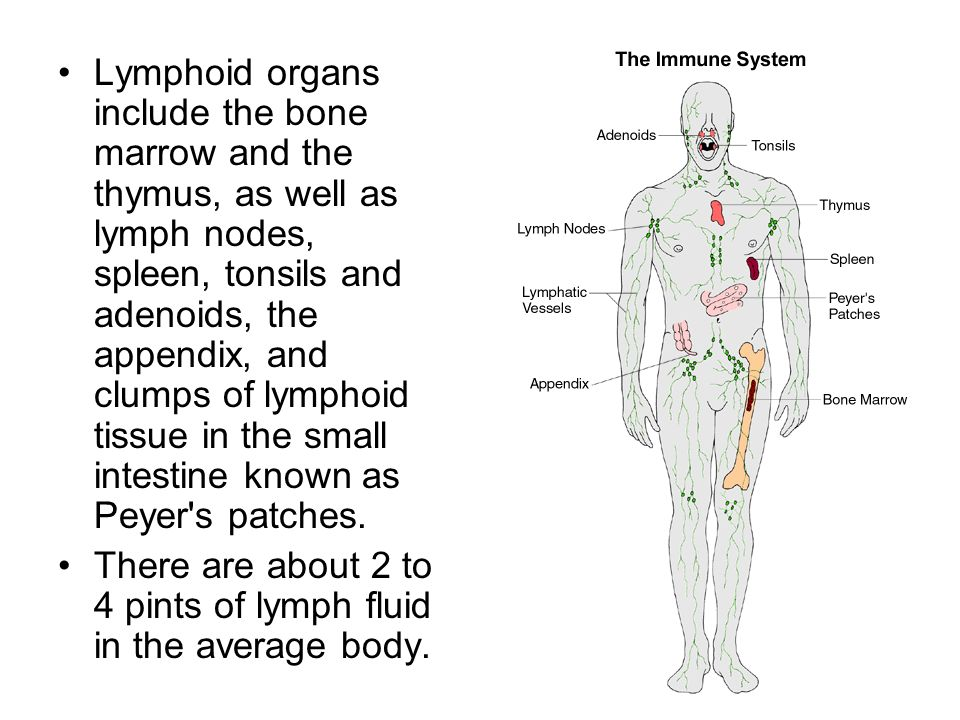 Lymphoid organs include the bone marrow and the thymus, as well as lymph nodes, spleen, tonsils and adenoids, the appendix, and clumps of lymphoid tis