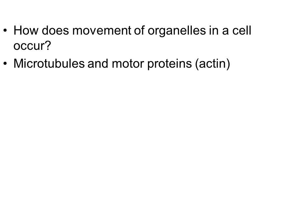 How does movement of organelles in a cell occur? Microtubules and motor proteins (actin)