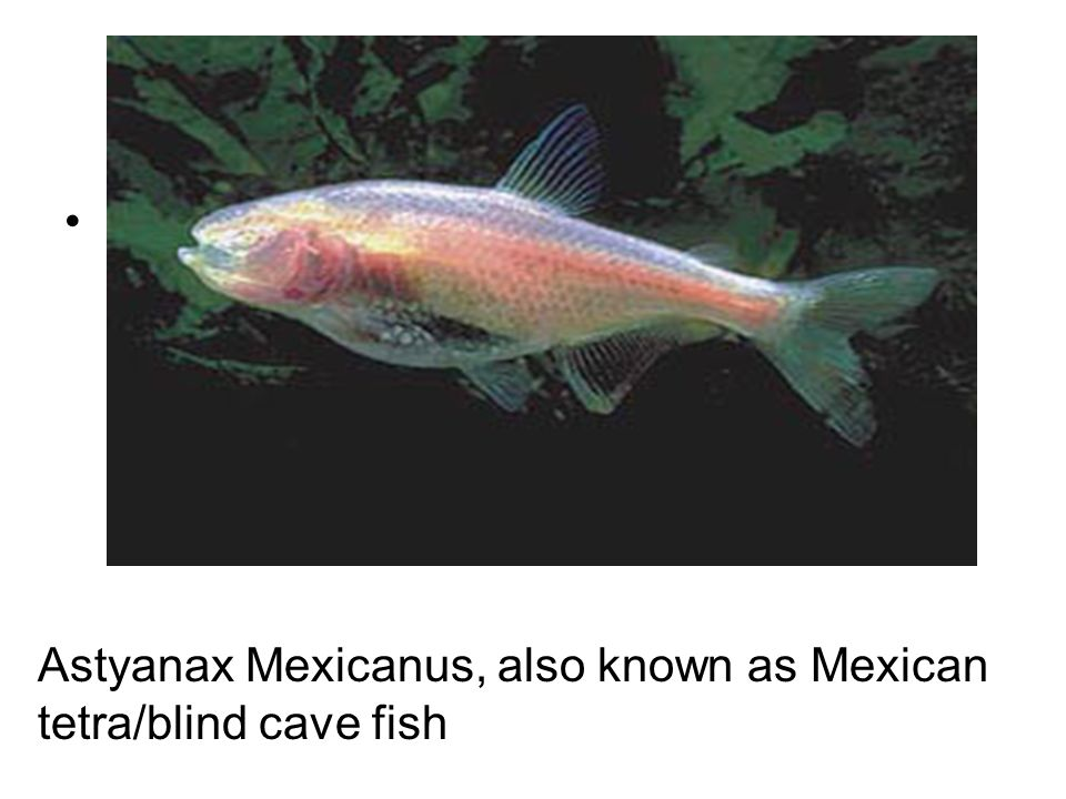 Anatomy- Name: Evidence Significance Astyanax Mexicanus, also known as Mexican tetra/blind cave fish