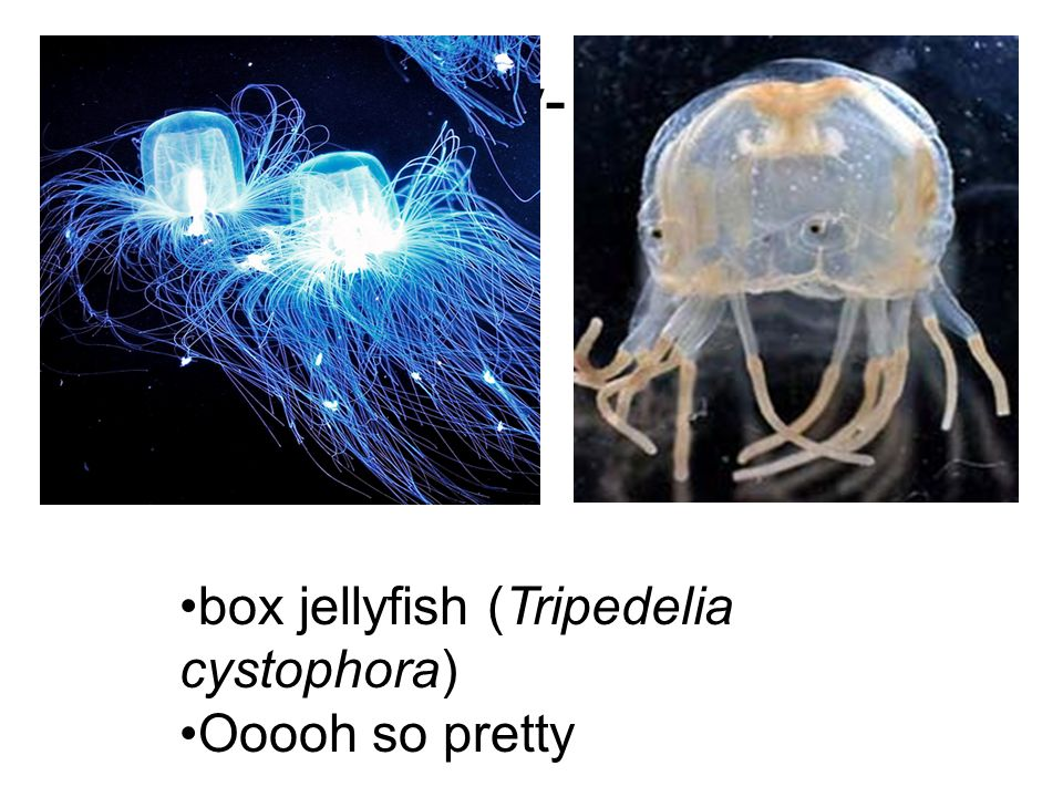 Anatomy- Name: Evidence Significance box jellyfish (Tripedelia cystophora) Ooooh so pretty