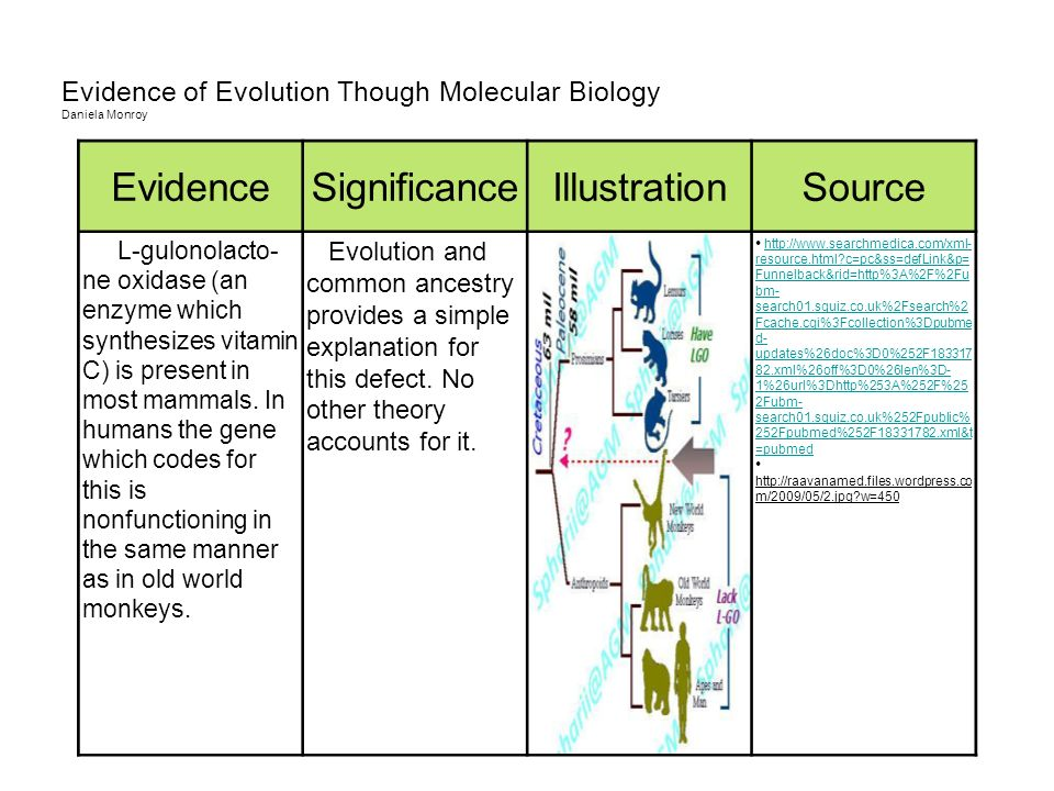 Evidence of Evolution Though Molecular Biology Daniela Monroy EvidenceSignificanceIllustrationSource L-gulonolacto- ne oxidase (an enzyme which synthe
