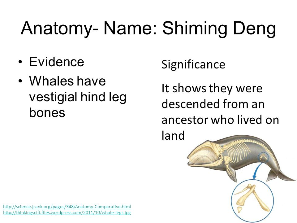 Anatomy- Name: Shiming Deng Evidence Whales have vestigial hind leg bones Significance It shows they were descended from an ancestor who lived on land