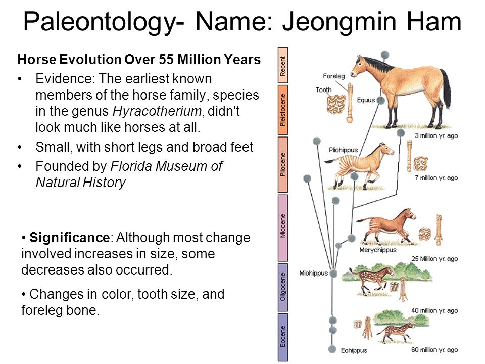Paleontology- Name: Jeongmin Ham Horse Evolution Over 55 Million Years Evidence: The earliest known members of the horse family, species in the genus