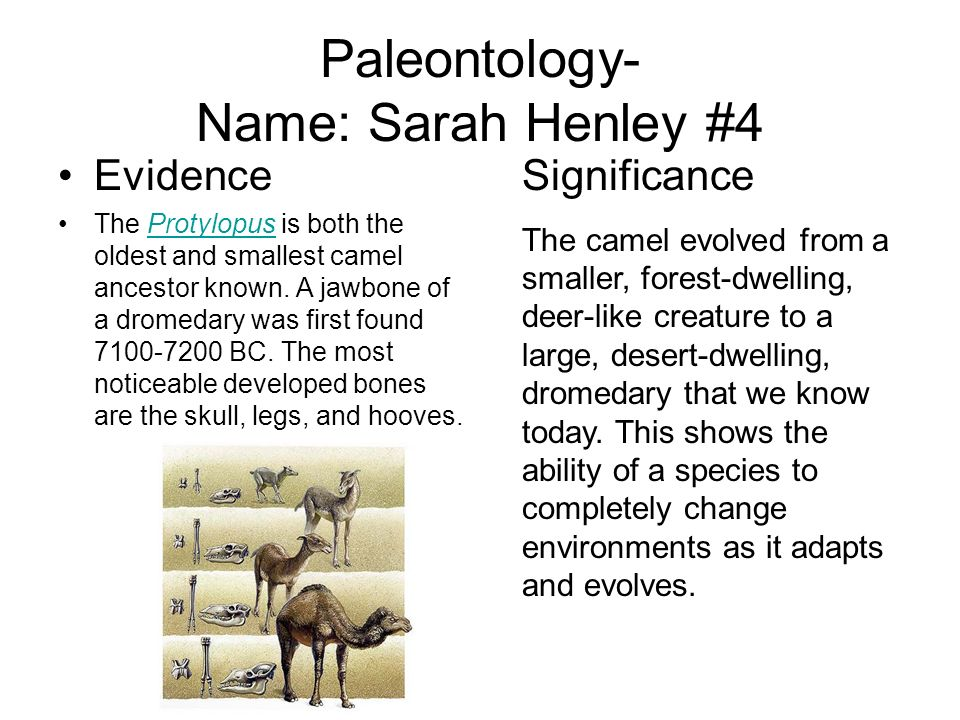 Paleontology- Name: Sarah Henley #4 Evidence The Protylopus is both the oldest and smallest camel ancestor known. A jawbone of a dromedary was first f