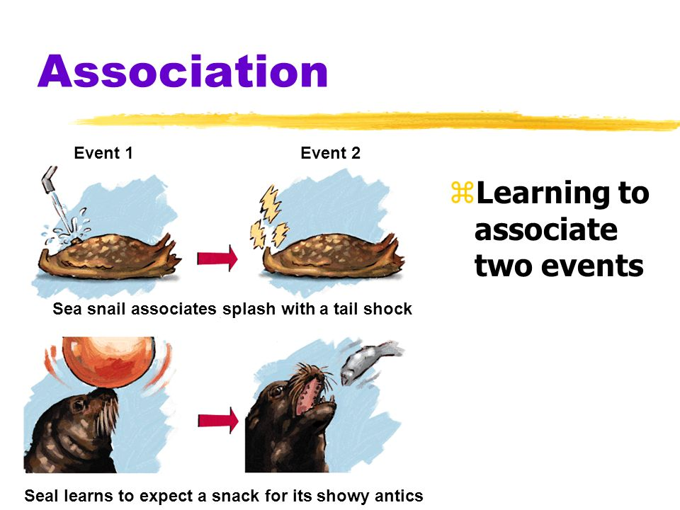Association zLearning to associate two events Event 1Event 2 Sea snail associates splash with a tail shock Seal learns to expect a snack for its showy antics