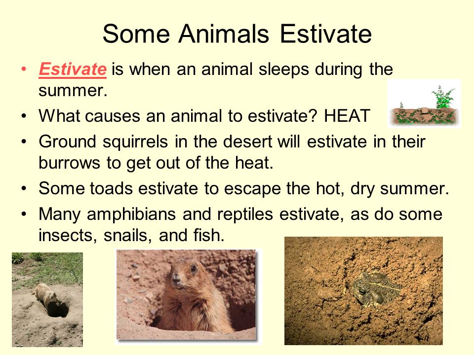 Some Animals Estivate Estivate is when an animal sleeps during the summer. What causes an animal to estivate? HEAT Ground squirrels in the desert will