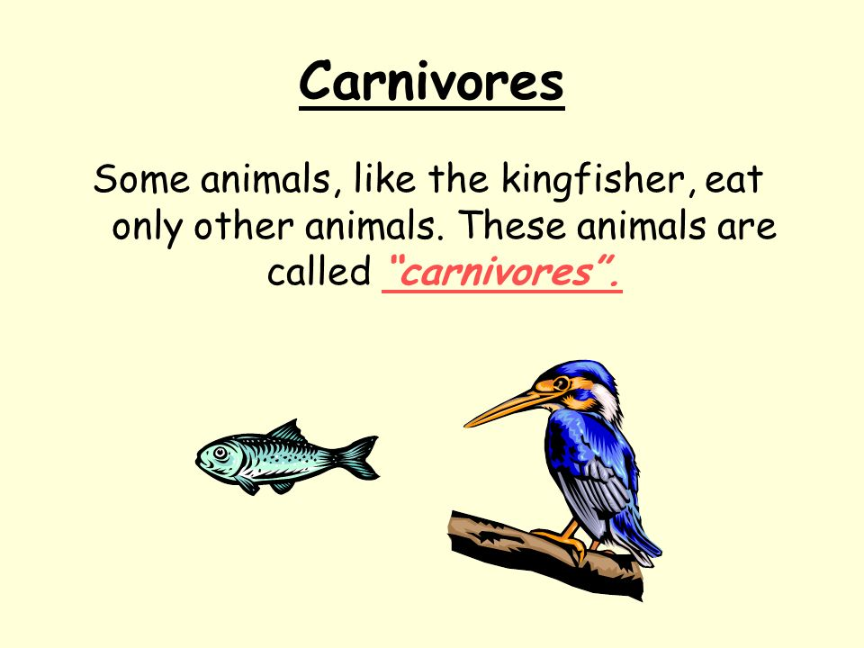 Carnivores Some animals, like the kingfisher, eat only other animals. These animals are called carnivores.