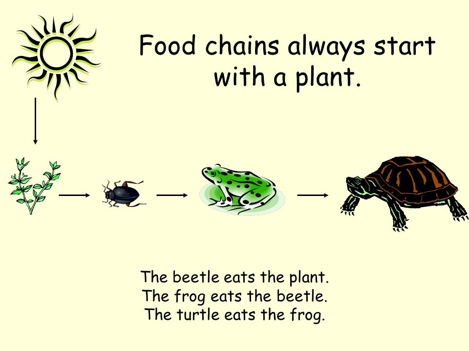 Food chains always start with a plant. The beetle eats the plant. The frog eats the beetle. The turtle eats the frog.