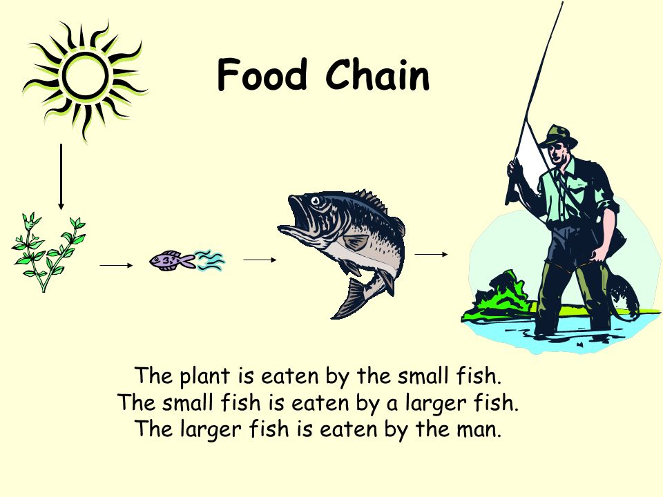 Food Chain The plant is eaten by the small fish. The small fish is eaten by a larger fish. The larger fish is eaten by the man.