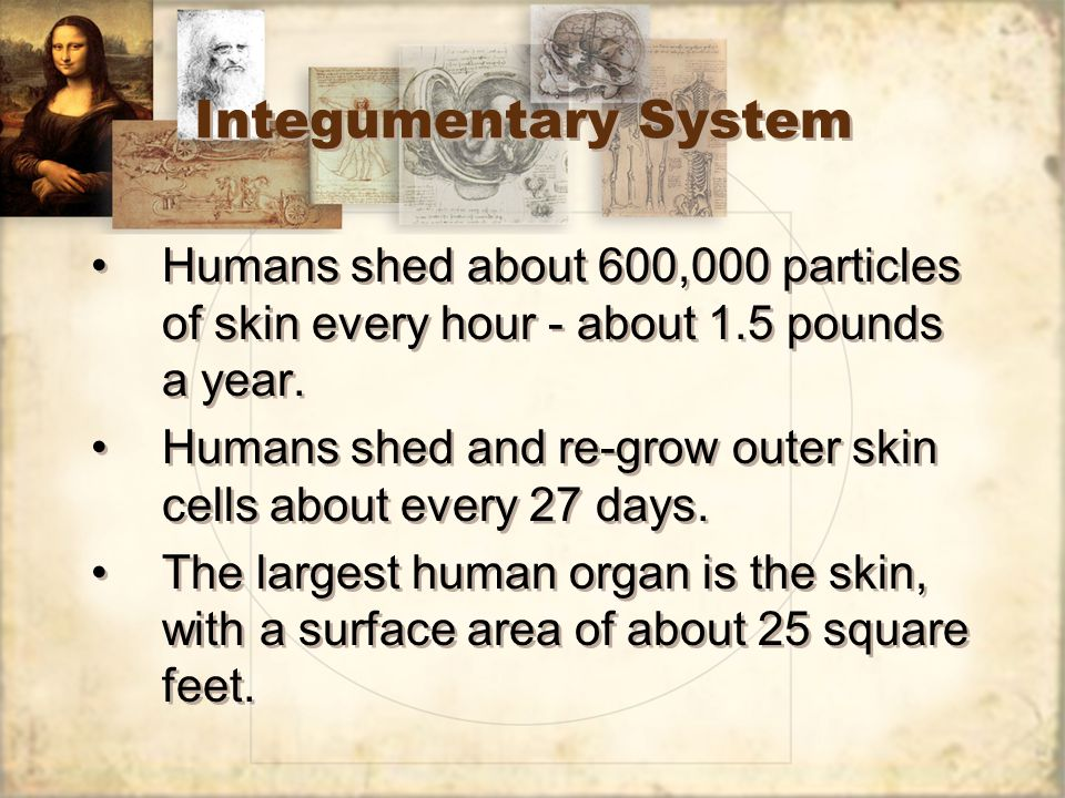 Integumentary System Humans shed about 600,000 particles of skin every hour - about 1.5 pounds a year. Humans shed and re-grow outer skin cells about